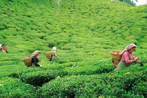 মৌলভীবাজারে নিলামে ২৫ কোটি টাকার চা বিক্রি Tea garden