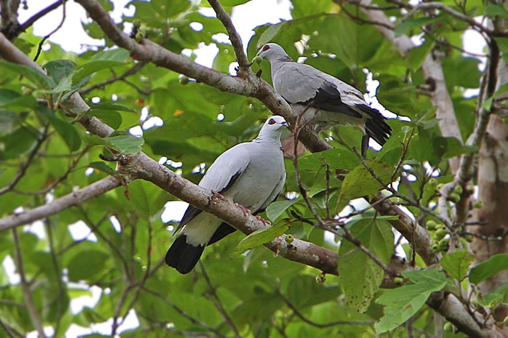 Silvery Wood Pigeon Columba Argentina Aves America Central Especies