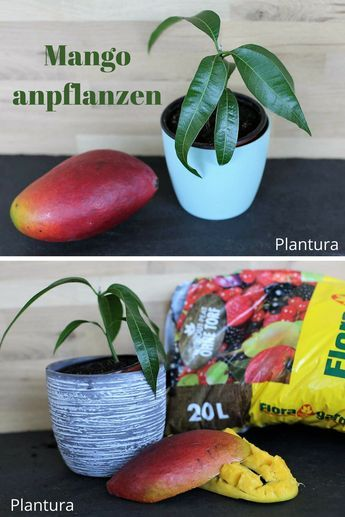 Mango einpflanzen & anbauen – Plantura