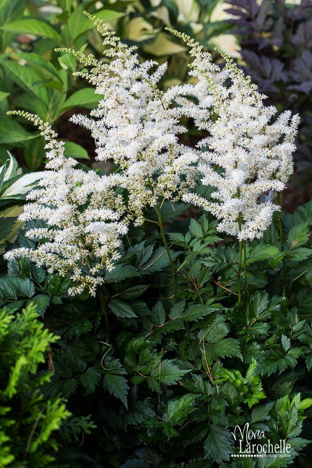 Astilbe Chinensis Vision In White 140724 239rm Astilbe White Flowering Plants Astilbe Flower