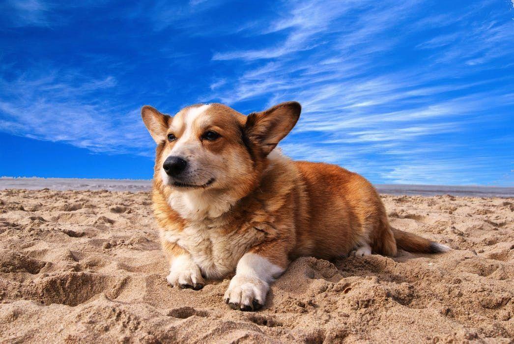 Pembroke Welsh Corgi Alert And Affectionate Corgi Dog Training Your Dog Corgi