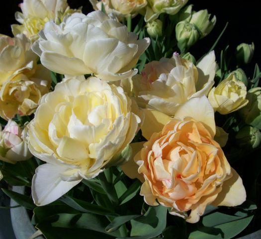 Tesco Direct Double Late Tulip Bulbs Tulipa Charming Lady Tulip Bulbs Tulips Planting Plan