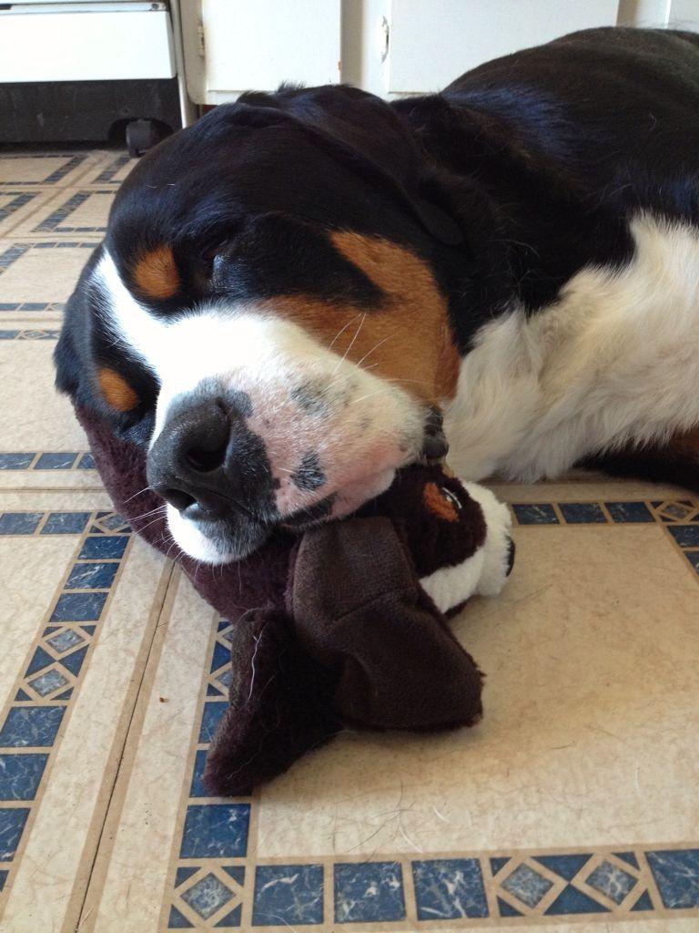 Jasper Sleeping On His Stuffed Swissy Greater Swiss Mountain Dogs