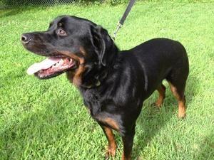 Adopt Diesel On Rottweiler Dog Dogs Rottweiler