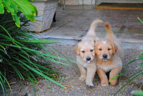 Conjoined Puppies With Images Golden Retriever Dog Brain