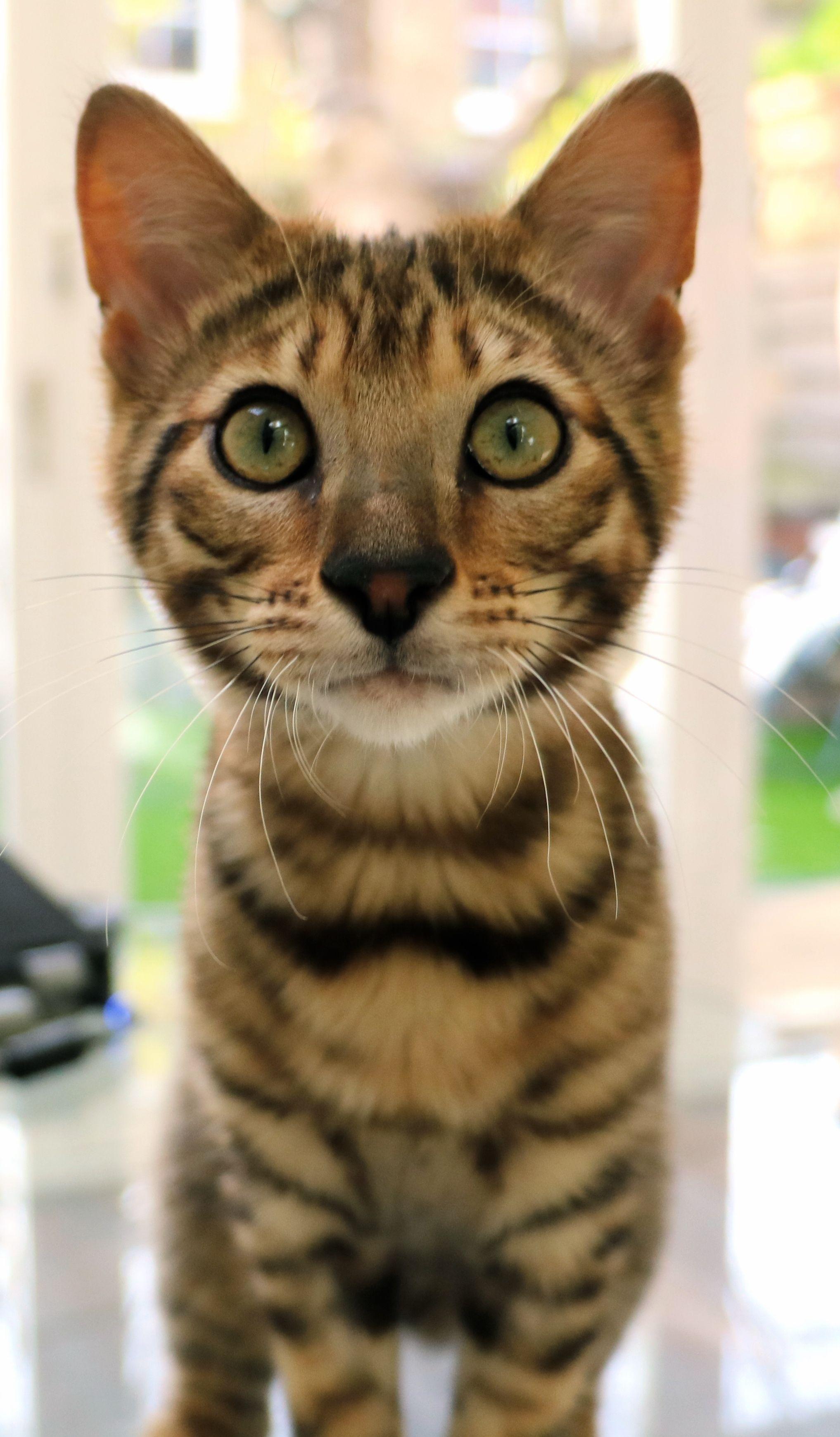 Pin By Laura Kline On Kitties Toyger Kitten Toyger Cat Cat Breeds