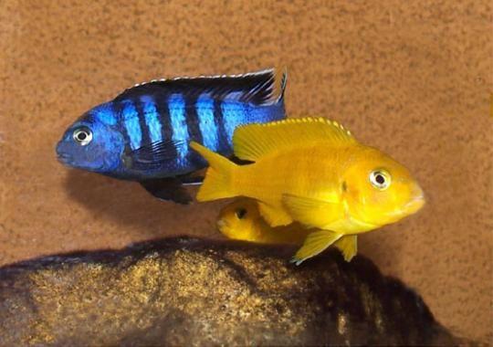 Blue And Yellow Lab Cichlids Cichlids African Cichlids Mbuna Cichlids