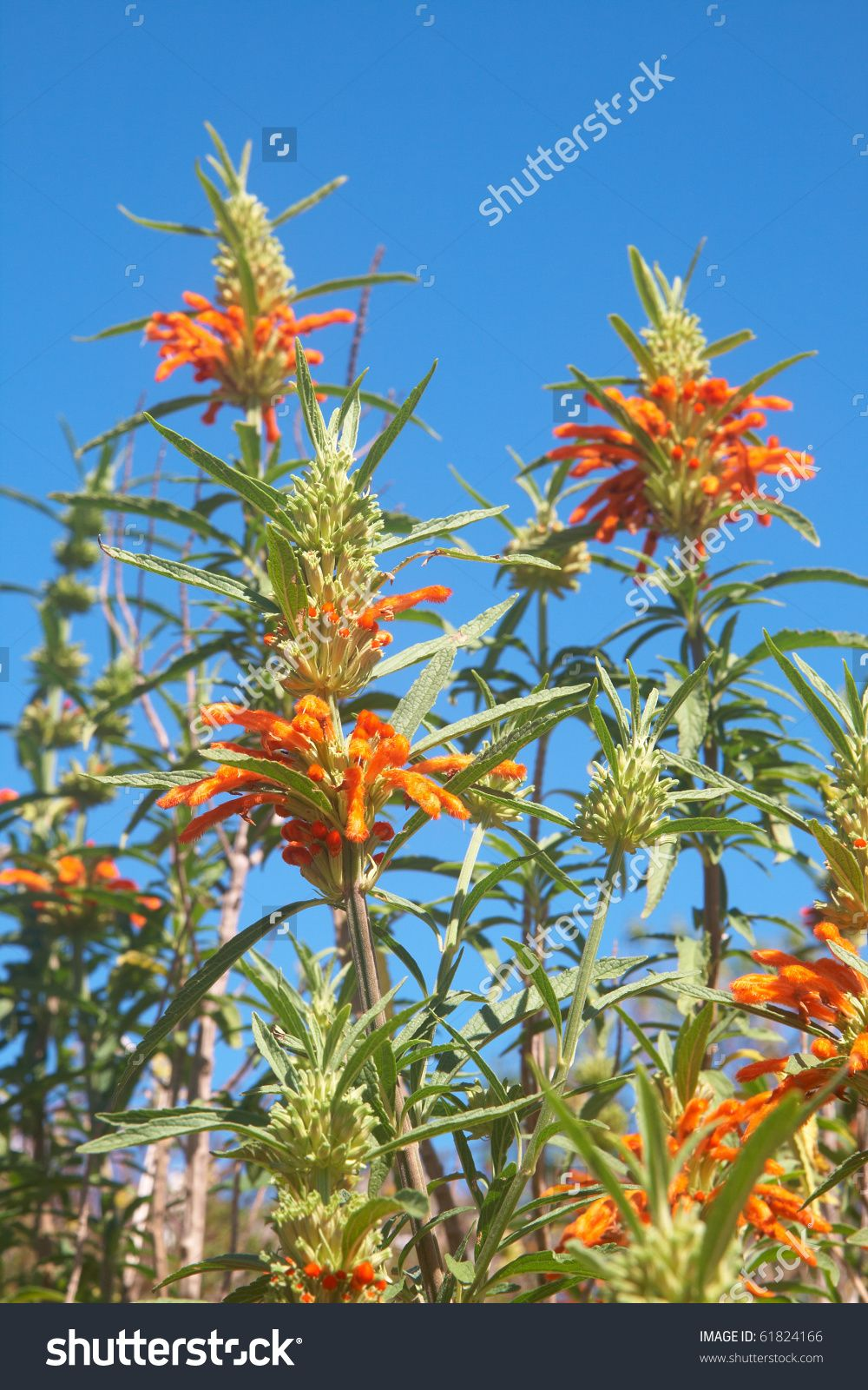 Wild Dagga Flowers