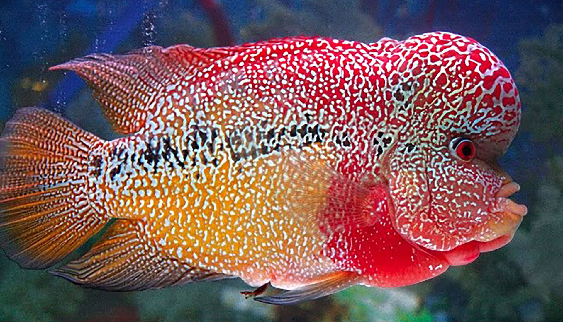 Life cycle and basics about Flowerhorn Fish Fish