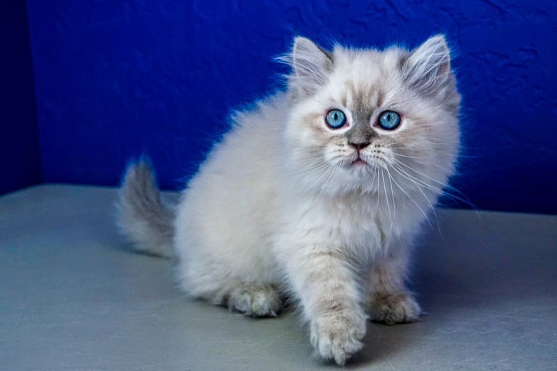 Peanut Blue Point Lynx Male Ragamuffin Kitten Ragdoll Kittens For Sale Near Me Buy Ragdoll Kitten Ragdoll Kitten Ragamuffin Kittens Ragdoll Cat