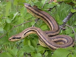 Elaphe Quatuorlineata Snake Animals That Hibernate Animals