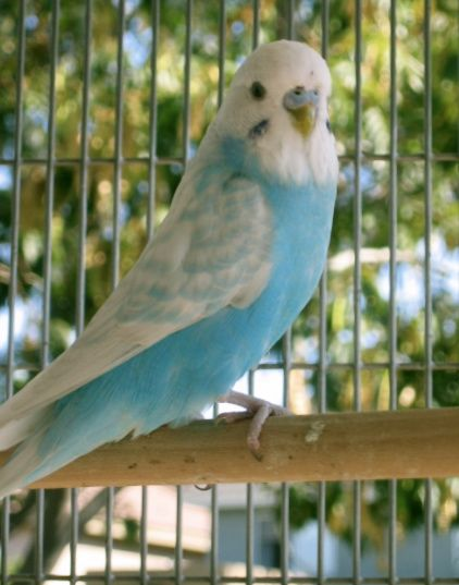 Blue Budgerigar / Melopsittacus undulatus~And whose little sky blue opaline spangle are you?