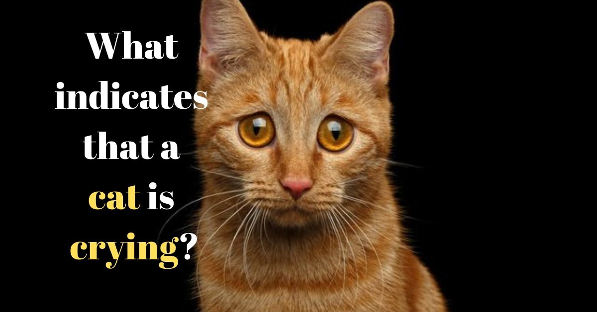 Do cats cry facts to know and what to do about crying cat