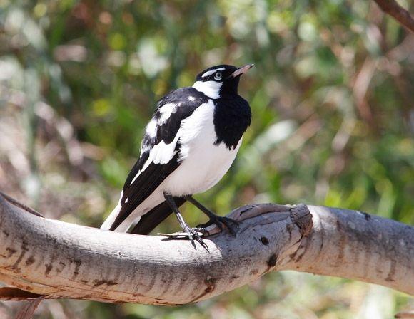 Magpie-lark | BirdLife Australia These birds constantly ...