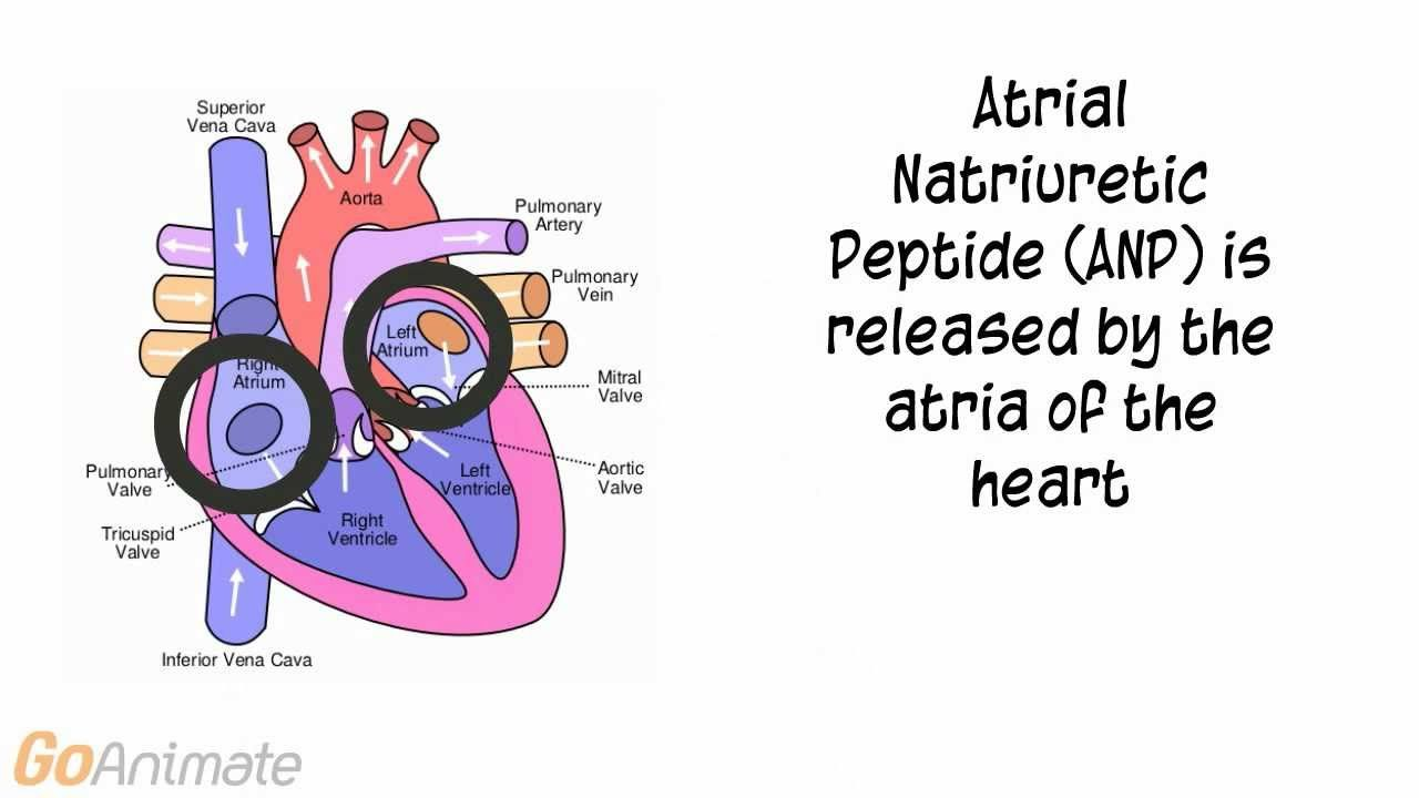 Atrial Natriuretic Peptide: Anatomy and Physiology | Nursing school ...