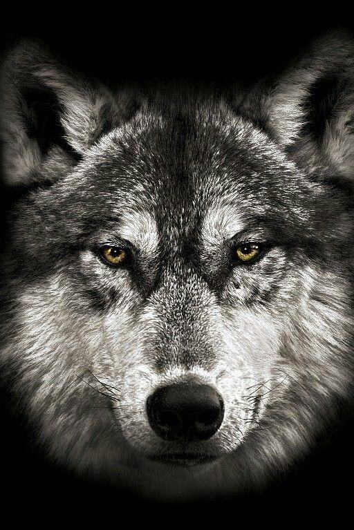 волк взгляд картинки