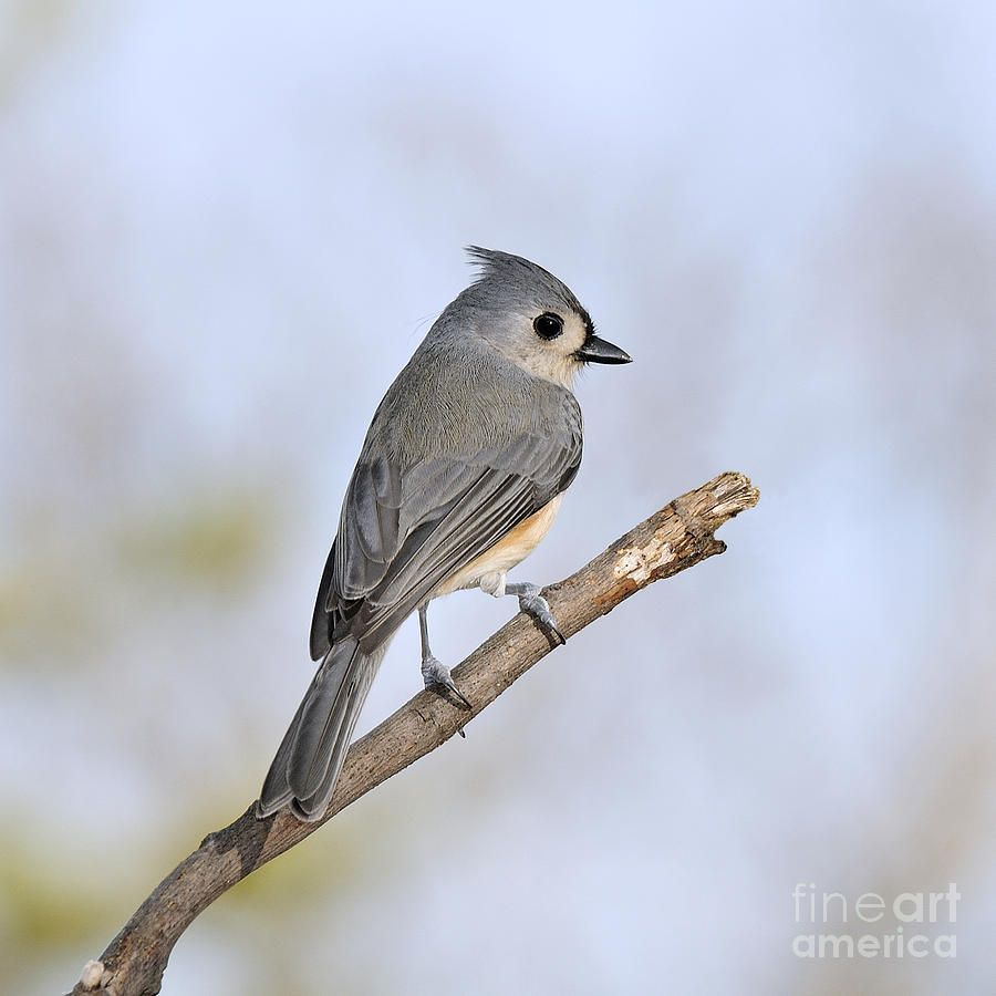 tufted titmouse - Google Search