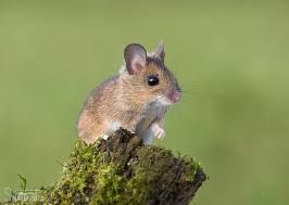 Bildergebnis Fur Waldmaus Mouse Photos Pet Mice Cute Mouse