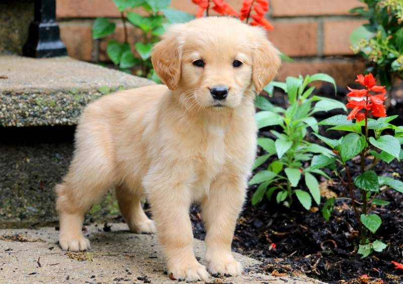 Diamond Dogs Golden Retriever Puppies Retriever Puppy