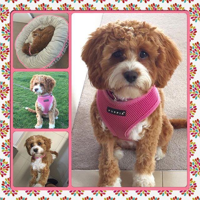 Chevromist Kennels Chevromist Instagram Photos And Videos Japanese Spitz Puppies Kennel