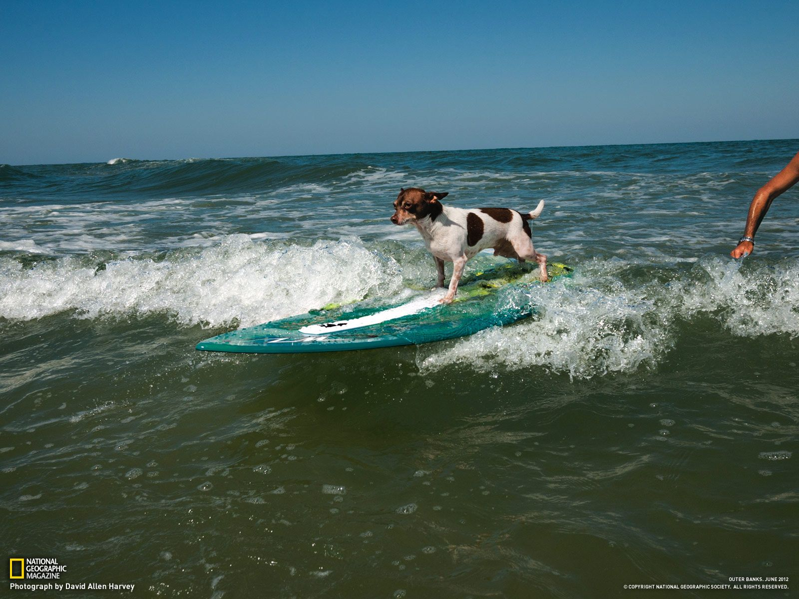 Surfing Dogs of the Outer Banks, NC: Dogs of OBX