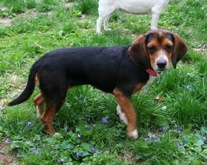 Adopt Ginger Henderson On Beagle Mix Adoptable Beagle Beagle Dog