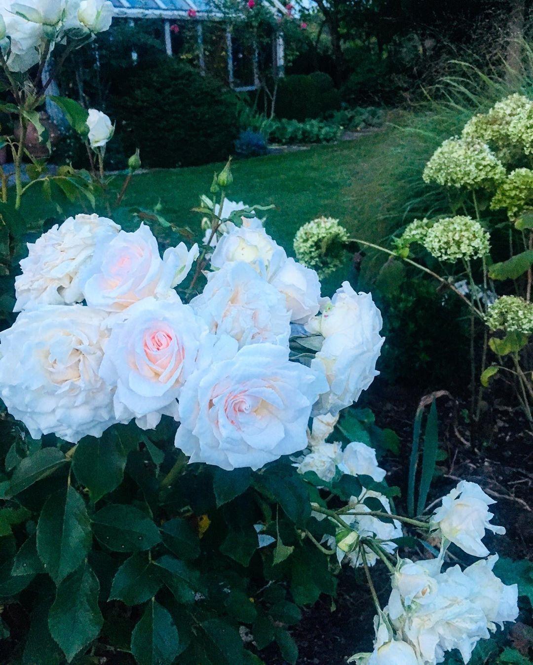 Wenn S Im Garten Dunkel Wird Und Nur Noch Die Rosen Leuchten Roses Rose Flowers Garten Gardening Gartengestaltung Garte Gartengestaltung Gartenliebe Garten