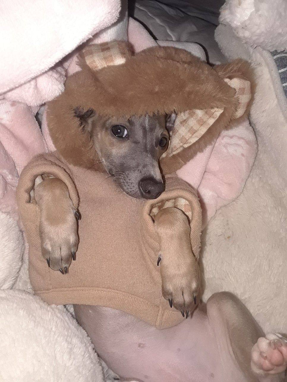 My Cuddle Bear Bear Italian Greyhound Cuddling