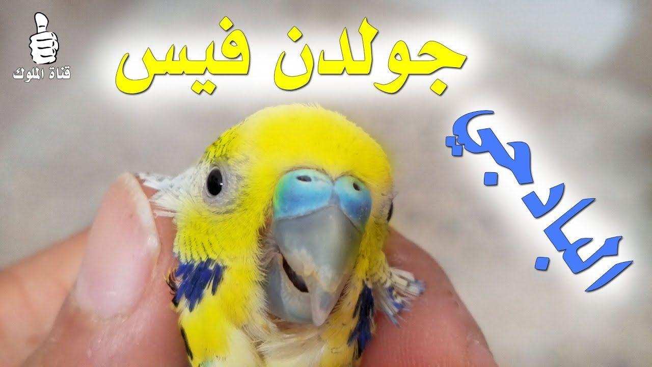 البادجي جولدن فيس طفرات البادجي Golden Face Budgie Mutation Budgies Parrot Animals