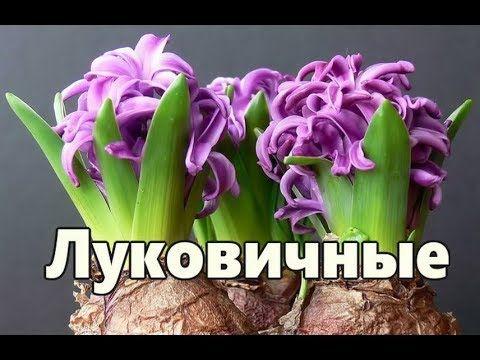 Лучшие ЛУКОВИЧНЫЕ РАСТЕНИЯ для комнатного цветоводства ...
