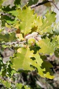 White Oak Bark has strong astringent and antiseptic properties making it good for inflammation, swelling, and bleeding such as bleeding gums, hemorrhoids, varicose veins and kidney and bladder problems that involve bleeding. It helps to dissolve and pass kidney and gall stones and will help to bring diarrhea under control. - See more at: http://www.top1000naturalremedies.com/2013/11/white-oak-bark/