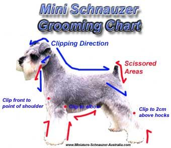 schnauzer cuts and styles | ... and grooming a miniature schnauzer is recommended every 6 weeks