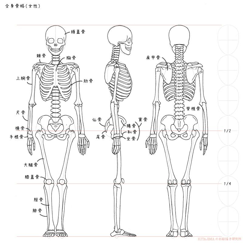 Httpanatoreftumblrpost145610765211whole Body Skeleton