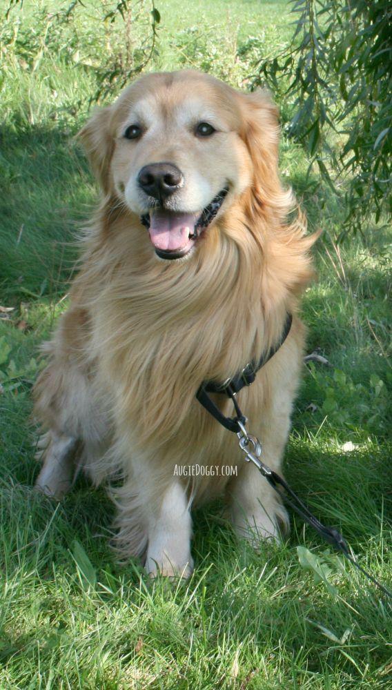 Golden Retriever Augie Beautiful Dogs Golden Retriever Retriever