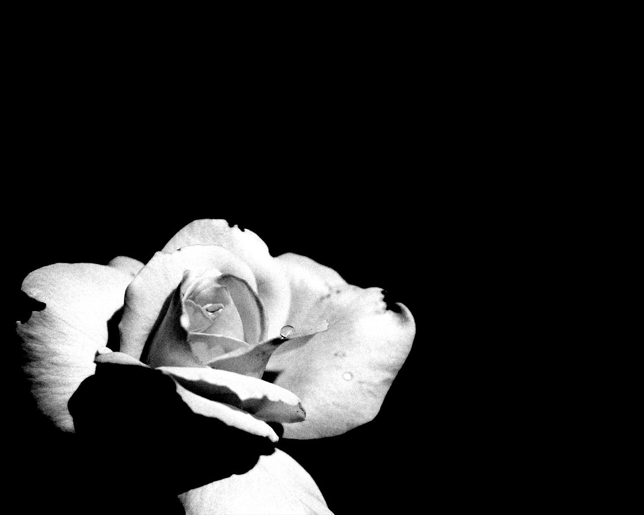 wallpapers background black and white wallpapers - Black And White Flowers