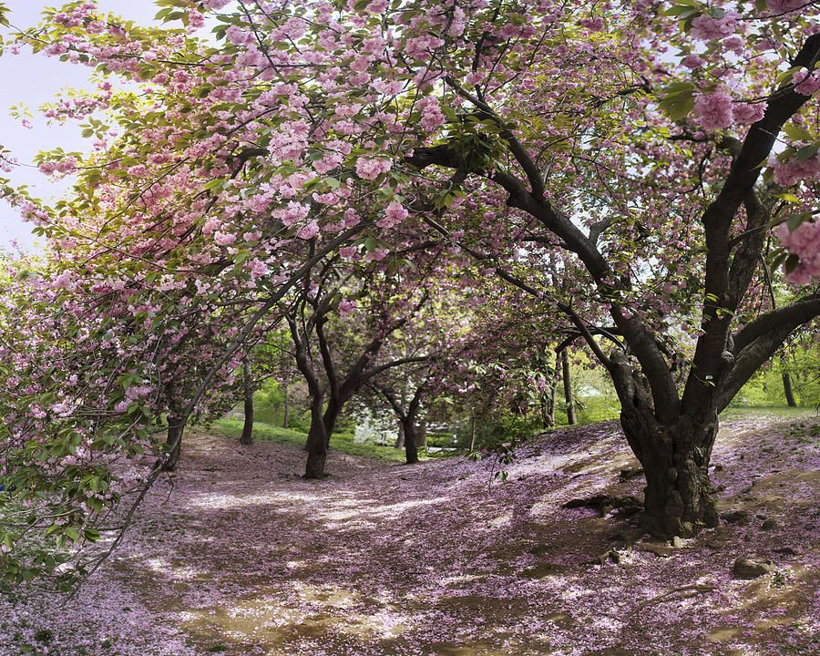 Cherry Tree Blossoms Pano By Dave Beckerman New York Photography Park Photography New York Photos