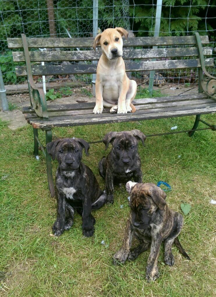 These Oops Puppies Are Advertised As American Bullmastiff X Rhodesian Ridgeback X Staffie Pitbull Puppies Bull Mastiff Puppies
