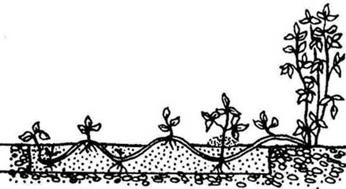 Размножение клематиса черенками или отводками по методу