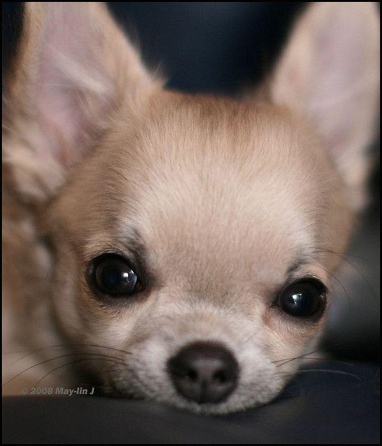 My Sweet Little Blessing Grandpuppy Gemma Chihuahua Puppies