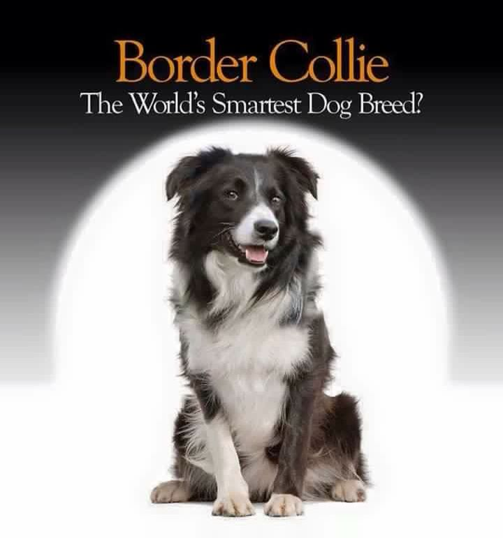 Yes And Great Friends Too Collie Dog Border Collie Puppies Border Collie