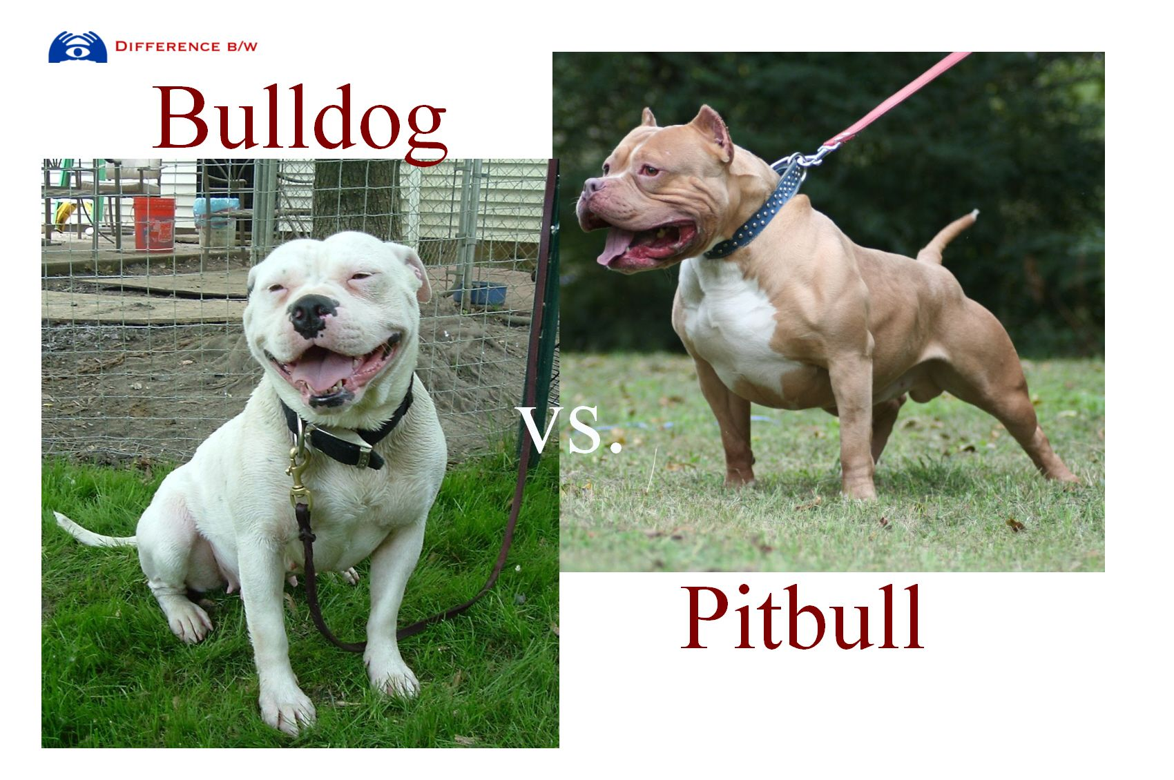 american bulldog vs pitbull difference Google Search