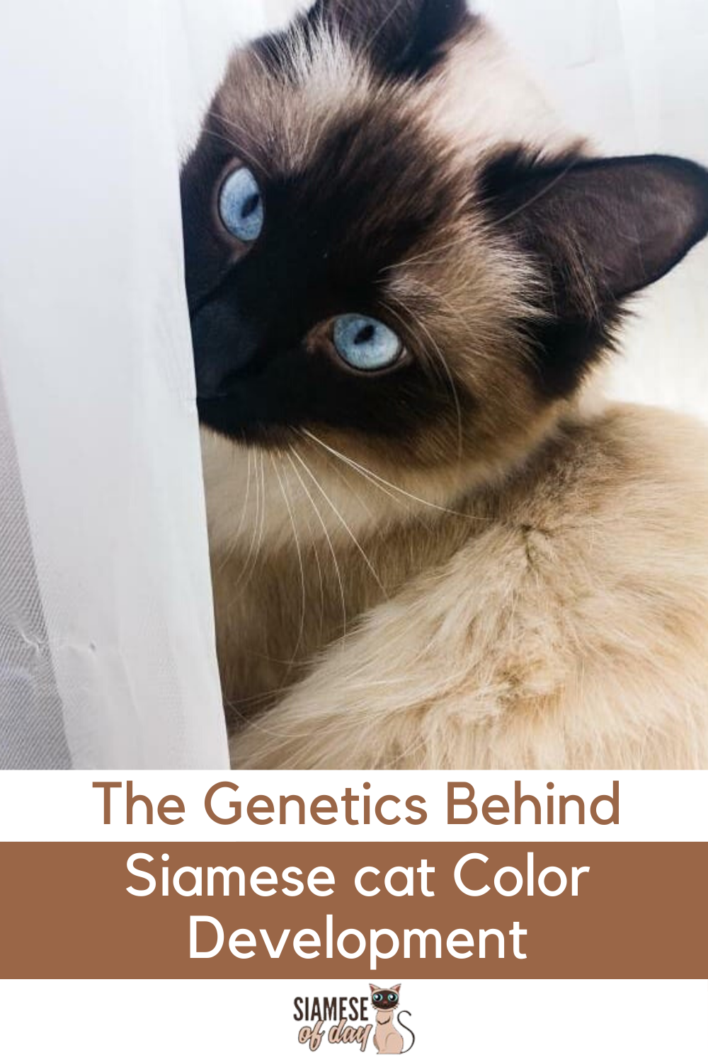 The Genetics Behind Siamese Cat Color Development In 2020 Siamese Cats Cat Colors Cats