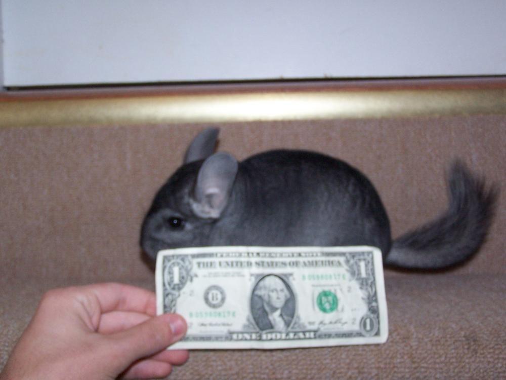 Two Female Chinchillas For Sale Georgia Outdoor News Forum Chinchilla Animals Petsmart