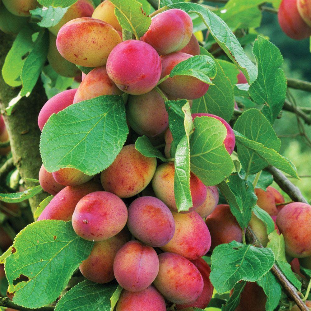 Plum Victoria Stone Fruit Trees Van Meuwen Miniature Fruit Trees Fruit Bushes Plum Fruit