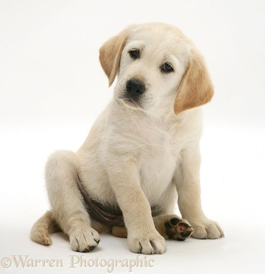 Dog Yellow Goldador Retriever Pup Sitting Photo Dogs Retriever