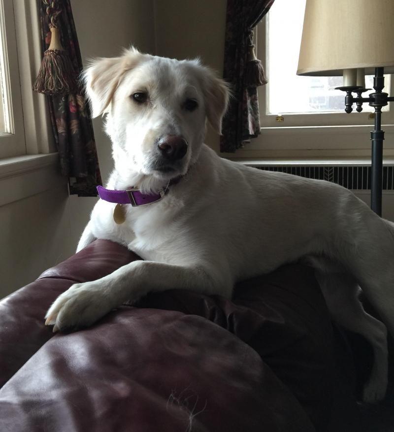 Meet Knox A Petfinder Adoptable Golden Retriever Dog Louisville