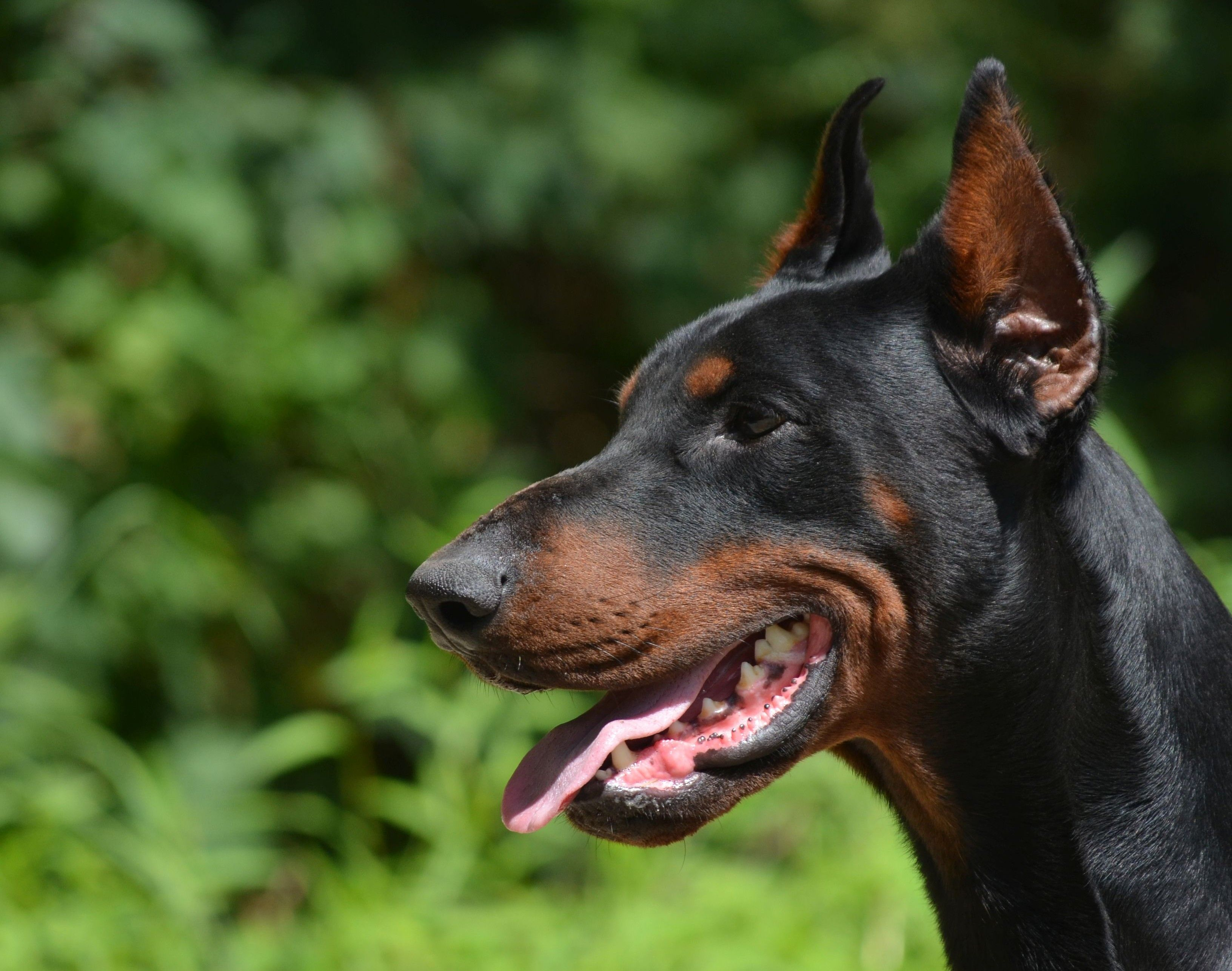 Dog for SaleDobermann Dogs, Dogs for sale, Animals and pets