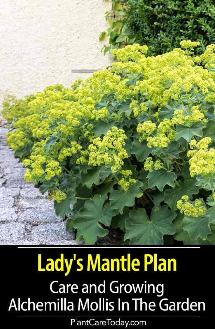 Lady S Mantle Plant Care And Growing Alchemilla Mollis In The