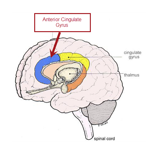 In particular, reductions in anterior cingulate gyrus functioning ...