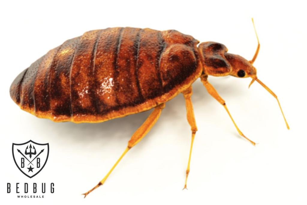 Australian Bedbug Key Facts Bed bugs, Facts, Key